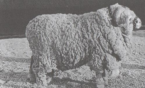 ausztrál gyapjú takaró