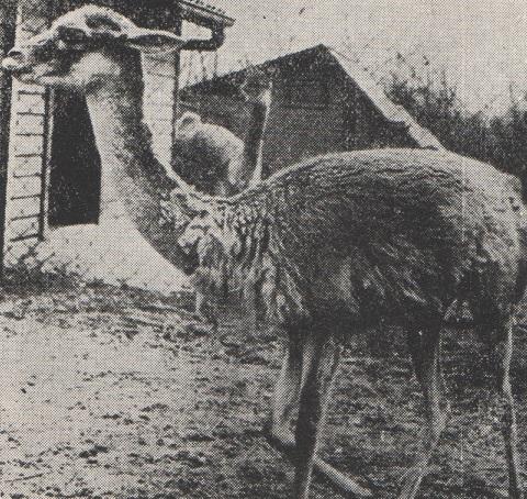 vikuna gyapjú
